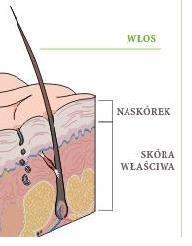 naskorek_skora wlasciwa
